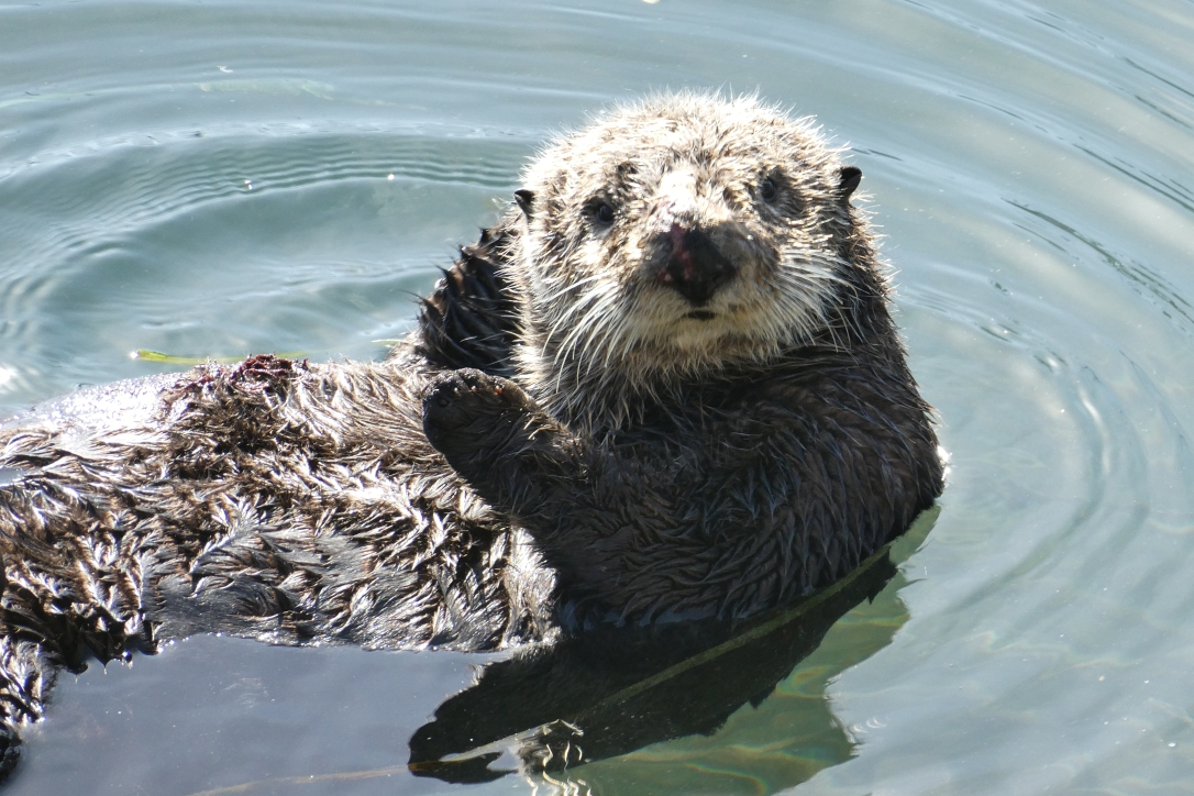 Seeotter, Morro Bay