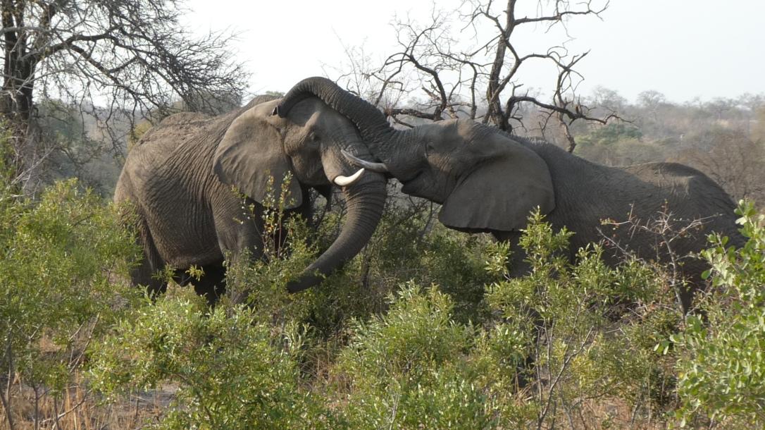 Elefanten, Kruger Nationalpark