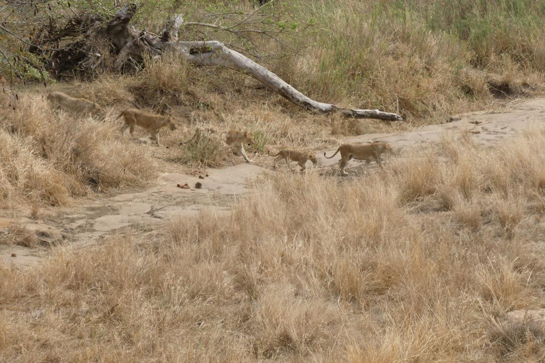 Löwenrudel, Kruger Nationalpark