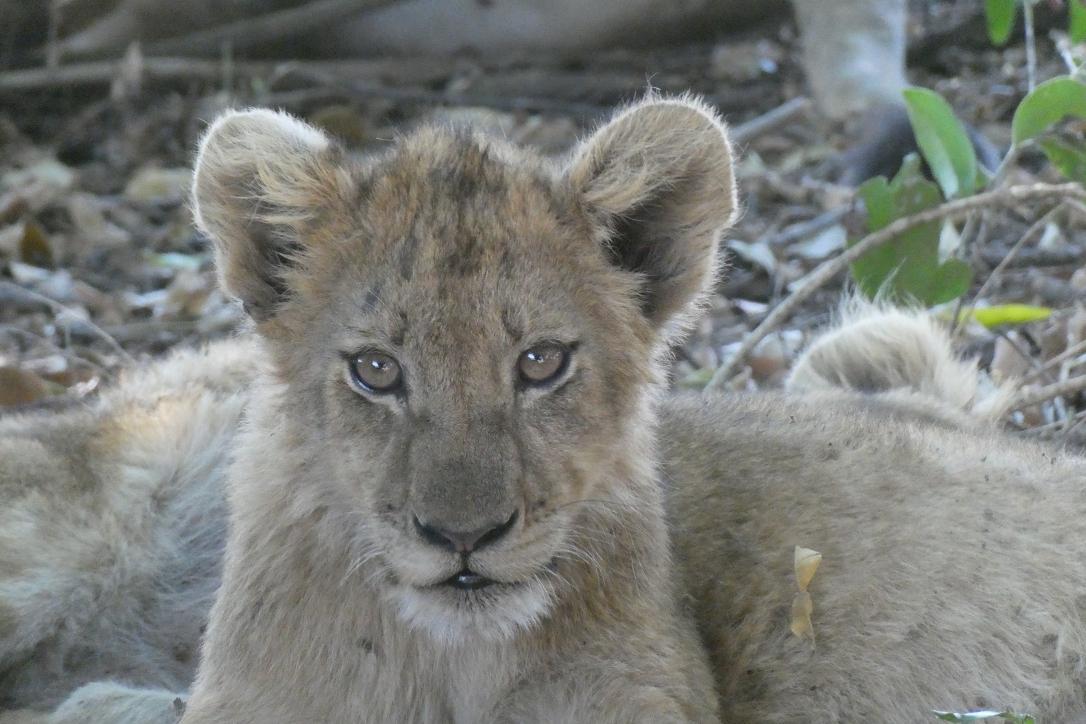 Löwenbaby, Kruger Nationalpark